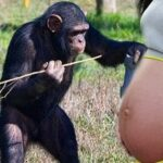 VOLTANDO AS ORIGENS : Garota engravida de chimpanzé e revoluciona a ciência