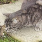NUNCA ZOMBE DOS PEQUENINOS : Rato luta por dez minutos e escapa de virar refeição de gato