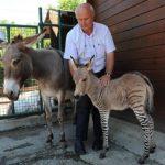 DEU ZEBRA PRO BURRO VÉI : Filhote híbrido de burro fêmea(Burra) e zebra macho nasce na Itália