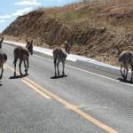 NOSSO IRMÃO: Abandono leva 2,5 mil jumentos por ano às rodovias da PB e agrava extinção