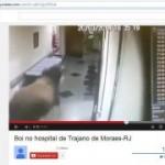 FRIBOI : Boi invade hospital, assista