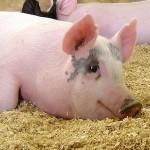 EU CONHEÇO MUITA GENTE COMPATÍVEL : Coração de porco pode ser usado em transplantes humanos