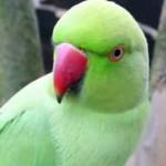 SE MENTIR VAI PRESO : Papagaio é expulso de casa após depor para polícia por xingar idosa