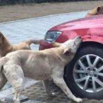 CACHORRADA UNIDA : Cachorro que foi agredido por homem volta com outros cachorros e destrói carro