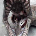 """""""Fóssil vivo"""", tubarão de espécie pré-histórica de 300 dentes é achado em mar"""
