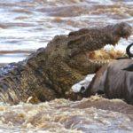 """Crocodilo gigante já matou 300 pessoas e é conhecido como """"demônio"""" na África"""
