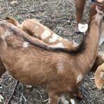 CABRAS ACUNHADAS SE TORNAM CUNHADAS : Homem é preso por abusar sexualmente de cabras no agreste pernambucano
