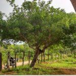 NÃO SABIA DE UMBU SER TÃO ÚTIL : Evento discute importância do umbuna agricultura familiar do Semiárido