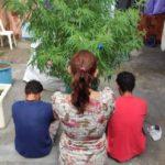 ARVORE NATALONHA : PM encontra pés de maconha em árvore natalina